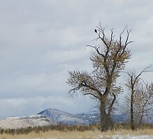 Bald Eagle Perch by Betty  Town Duncan