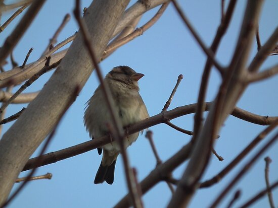 Sparrow in Tree by Deb Fedeler