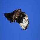 Red Tail Flies With Folded Wings by DARRIN ALDRIDGE
