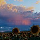 Sunset Sunflowers by Katagram