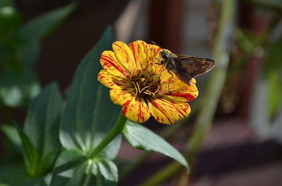 Moth on a Peppermint Zinnia by Paula Betz