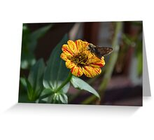 Moth on a Peppermint Zinnia Greeting Card