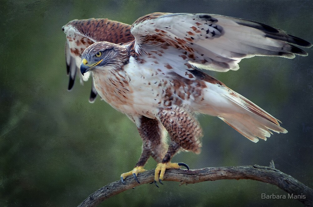 Ferruginous Hawk  by Barbara Manis