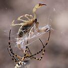 Orb spider vs. scorpion by Robbie Knight