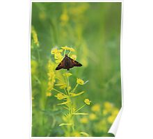 Silver-spotted Skipper on Leafy Spurge Poster