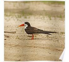 African Skimmer at rest Poster