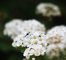 Mosquito on Bridal Wreath Spirea by Alyce Taylor