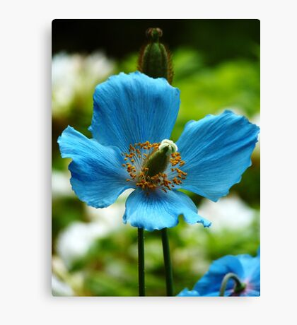 Blue Poppy - Butchart Gardens Canvas Print