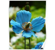 Blue Poppy - Butchart Gardens Poster