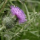 Thistle Flower by waxyfrog