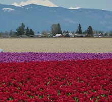 Tulip Fields w' Shuksan Glacier by MischaC