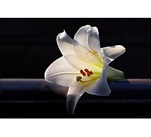 White lily on black background. Photographic Print