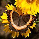 Garden Commodore (Junonia Archesia) by Peter Wickham