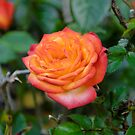 My mini rose by DebbyScott