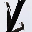 Resting Hornbills by Rhys Herbert