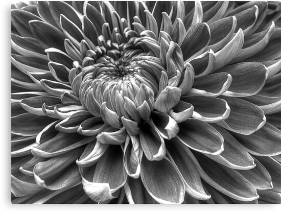 Monotone Macro Mum Bloom by glennc70000