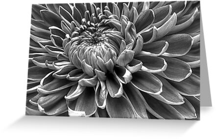 Monotone Macro Mum Bloom by Glenn Cecero