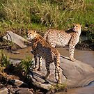 Cheetahs on a rock by evilcat