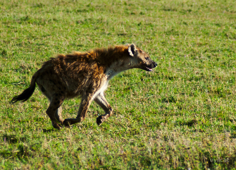 Spotted Hyena by evilcat