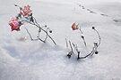 Snow Rose by Igor Zenin