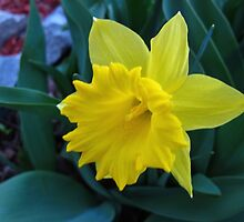 Daffodil burst by MarianBendeth