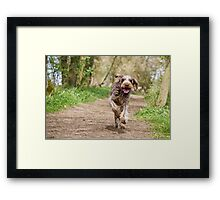 Brown Roan Italian Spinone Dog in Action Framed Print
