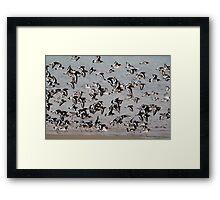 Oystercatcher Flock Framed Print