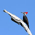 Pileated Woodpecker by Larry Baker