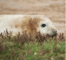 Donna Nook Seal Pup Photographic Print