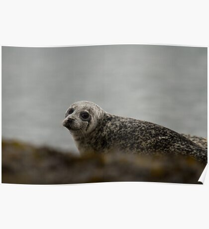young grey seal Poster