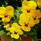 Pretty Yellow Pansies by ange2