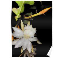 Epiphyllum anguliger or Fish Bone Cactus and Bud Poster