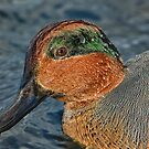 Profile of a wet green winged teal  by Daniel  Parent
