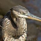 Portrait of a Great Blue Heron by KAREN SCHMIDT