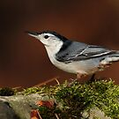 White-breasted Nuthatch on Moss Covered Rock by Bill McMullen