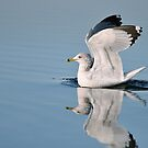 Gull Reflections by Monte Morton