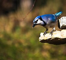 Perched Blue Jay by Jean-Rene  Daoust
