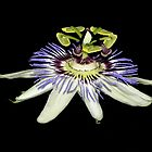 Blue Passion Flower by waxyfrog