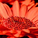 Bright Orange Gerbera Daisy by Dave  Frost