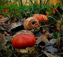 All Of A Kind ~ Amanita muscaria ~ by Charles & Patricia   Harkins ~ Picture Oregon