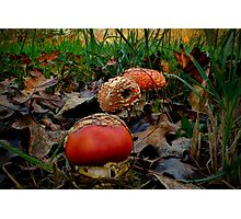 All Of A Kind ~ Amanita muscaria ~ Photographic Print