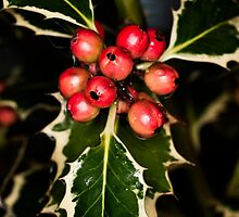 Holly With Berries by Steve Purnell