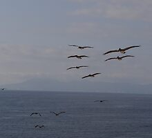 There must be fishes! Pelicans - Pelícanos I, Puerto Vallarta, Mexico by PtoVallartaMex