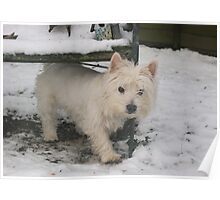 Westie dog on a cold snowy winter's morning Poster