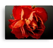 A Rose- past its prime Canvas Print