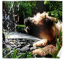 Soft coated wheaten terrier drinking from fountain Poster