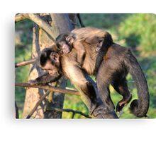 Sleeping Baby Capuchin. Canvas Print