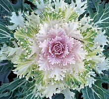 Decorative Kale - The Autumn Garden's Friend by MotherNature