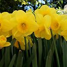Daffodils by Leigh Penfold