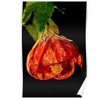 Chinese Lantern Flower #3 Poster